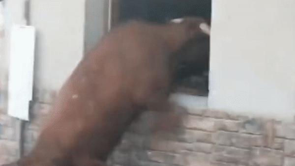 Bò tót cố trèo lên cửa sổ tấn công người xem