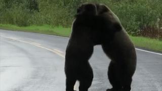 Gấu vật nhau giữa đường, sói chăm chú theo dõi